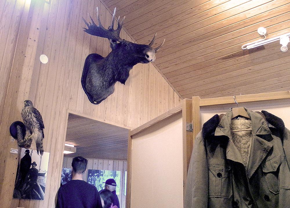 Älg i museet