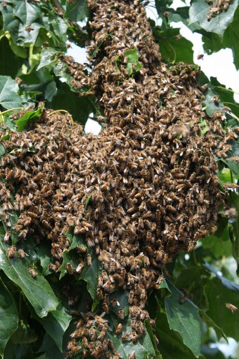 Der von den Bienen okkupierte Baum der Nachbarn